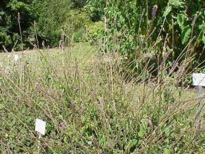 वह जंगली पौधा जो पैरालिसिस अर्थात लकवा से मुक्ति दिलाता है