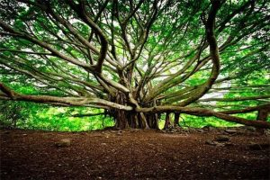 the great banyan tree Kolkata